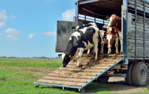 Gills Driving School Bovine Transport Course